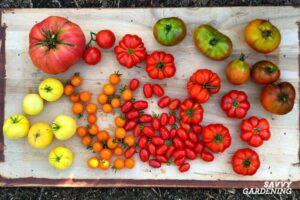 Choosing right tomato Seeds