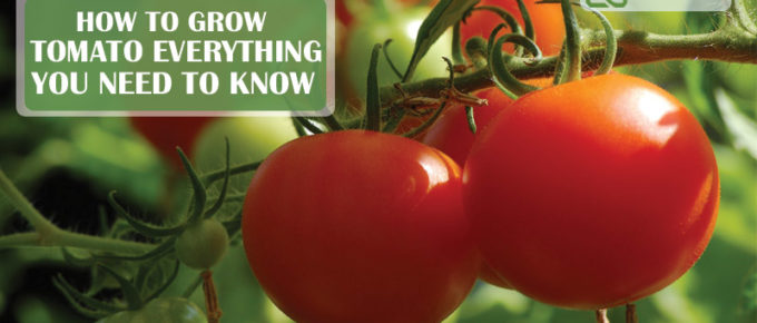 how to grow tomato