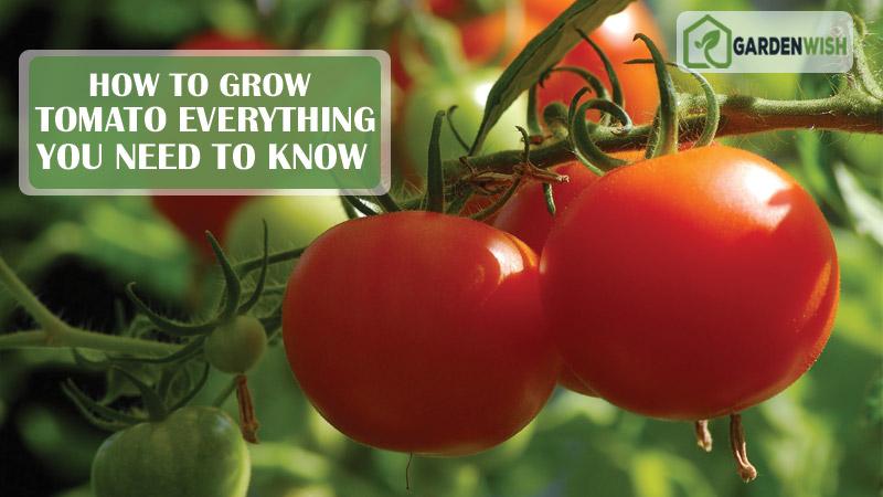 how to grow tomato