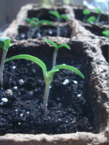 tomato plant from seed