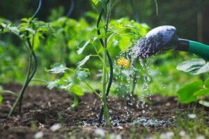 How to Grow Tomato: Watering tomato