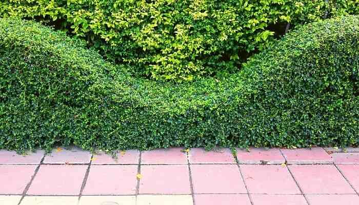 wave shape hedge